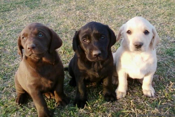 Labrador breeders akc
